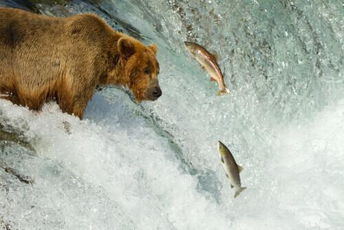 un orso in agguato cerca di afferrare un salmone