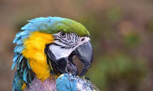 Dalle piume si può capire se un uccello è malato