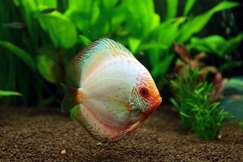 un pesce bianco e rosso nuota calmo sul fondo di un acquario