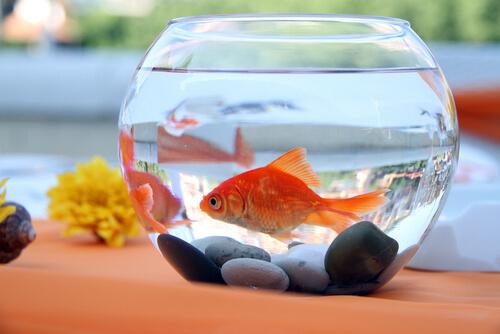 pesce rosso dentro ad acquario rotondo