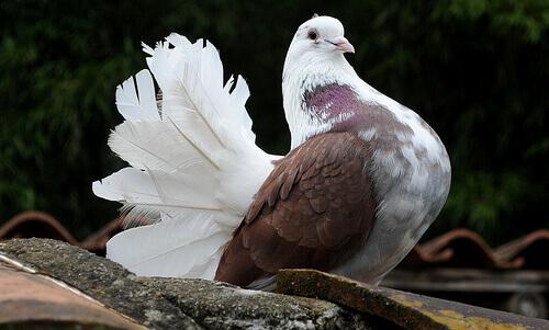 Come allevare i piccioni domestici