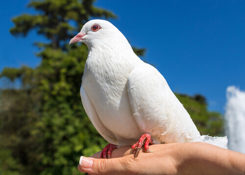 un piccione bianco sulla mano del padrone
