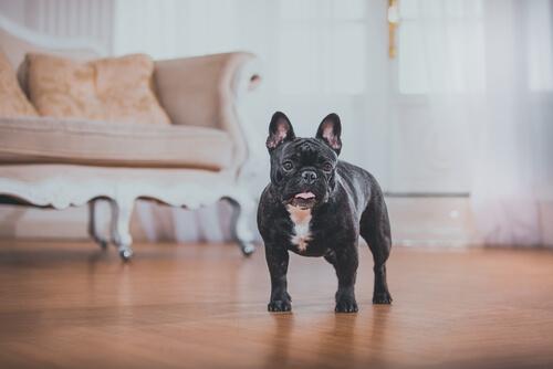 un piccolo bulldog francese nero in casa