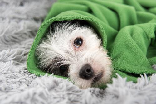 cagnolino bianco avvolto in una coperta verde