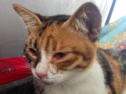 un piccolo gatto con problemi alla vista
