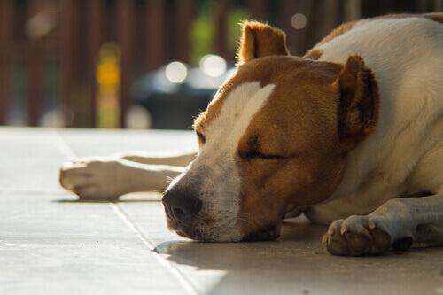 Un pitbull riposa sdraiato al sole