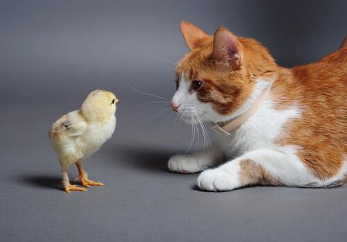 pulcino e gatto bianco e rosso