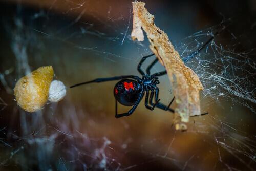 un ragno nero che tesse la sua tela