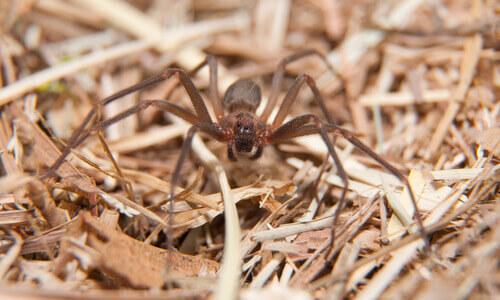un ragno violino cammina tra gli sterpi