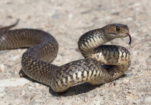 un serpente grigio sibila e striscia su di una roccia