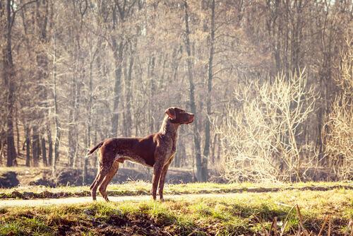 pointer inglese attento in un bosco