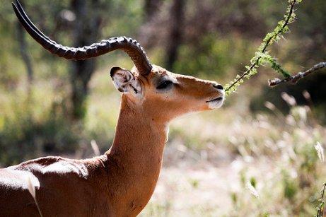 una Gazzella mangia foglie da un albero