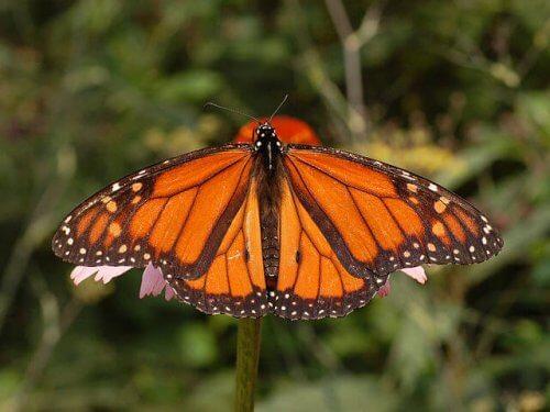 Alla scoperta delle farfalle più affascinanti del mondo