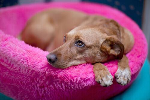 una cagnolina riposa nella cuccia