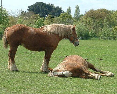 una coppia di cavalli da tiro si riposa al sole