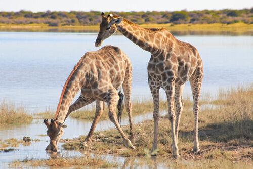 una coppia di giraffe beve in uno stagno nella savana