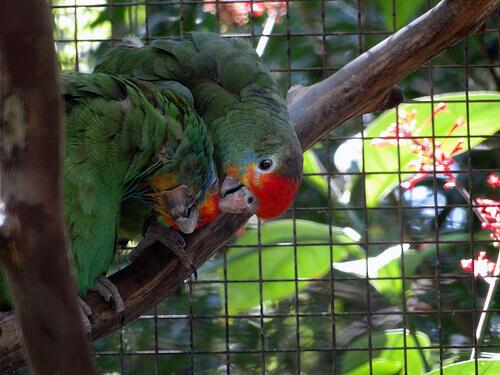 Come si riproduce il pappagallo domestico