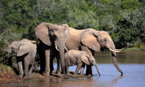 una famiglia di quattro elefanti beve nel fiume