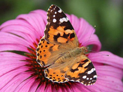 una fantastica farfalla arancione su un fiore viola