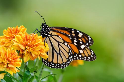 una farfalla succhia il nettare da un fiore giallo