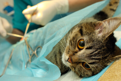 Gatta sottoposta a sterilizzazione precoce