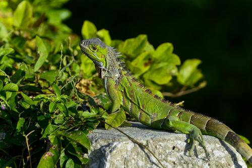 una iguana verde si riscalda al sole su di una roccia