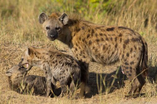 una madre iena protegge due cucciolo che giocano