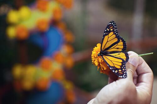 una piccola farfalla gialla e blu su un fiore tenuta in mano