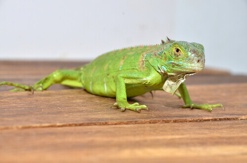 una piccola iguana su un tavolo in casa