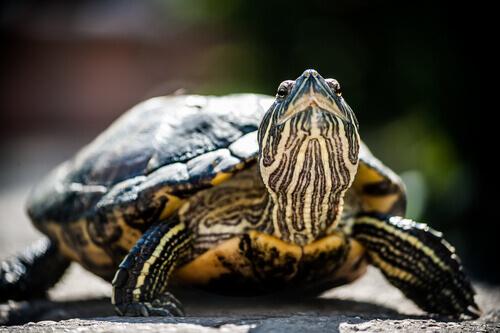 una piccola tartaruga con la testa sollevata