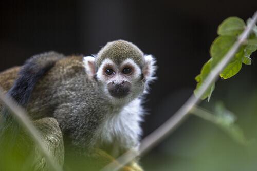 Perché non si può tenere una scimmia in casa?