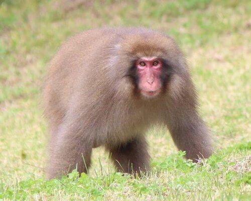 una scimmia cammina su una collina verde