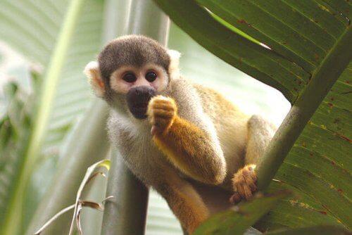 una scimmia mangia e si nasconde tra le foglie