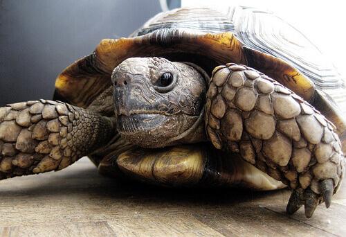 una tartaruga di terra che cammina