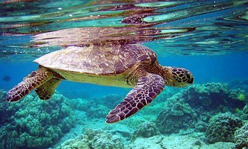 Tartaruga marina che nuota tra i coralli