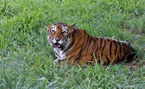 Tigre del Bengala: caratteristiche, comportamento e habitat