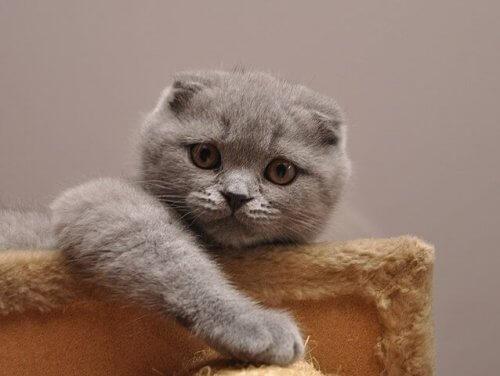 Scottish Fold, il gatto più dolce al mondo