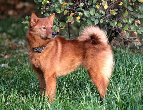 Spitz finnico, un cane elegante e socievole