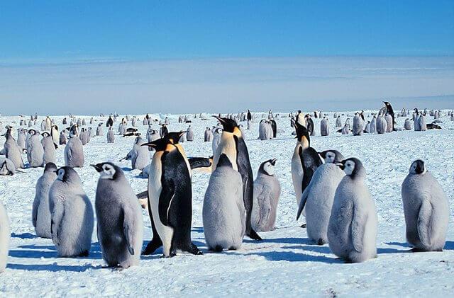La dura vita del pinguino imperatore