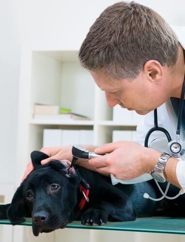 veterinario che controlla le orecchie di un cane nero