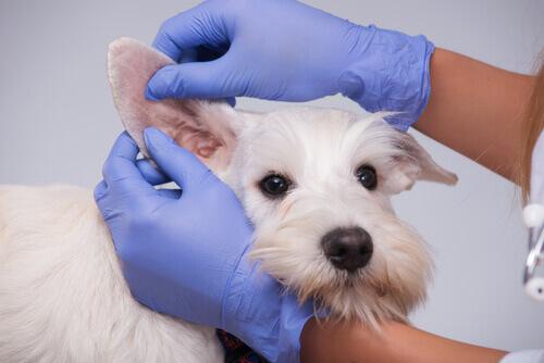 veterinario controlla orecchie cane bianco