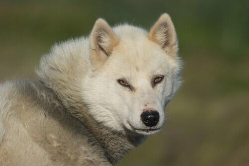 Il groenlandese, un cane energico e leale