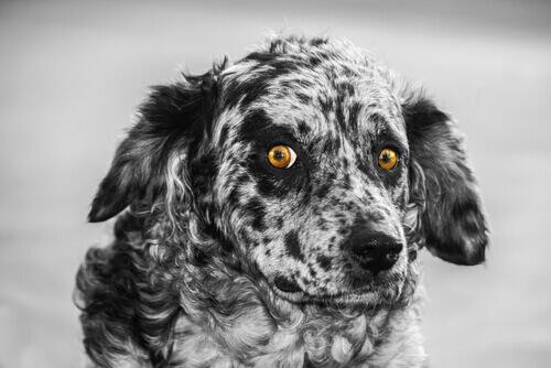 Carea Leonés, il cane pastore della penisola iberica