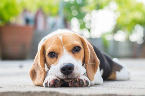 Beagle sdraiato sul marciapiede