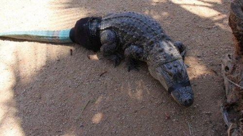 coccodrillo con protesi