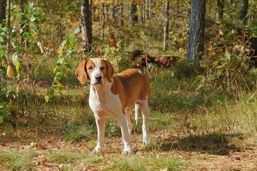 Cani del gruppo 6: classificazione della FCI