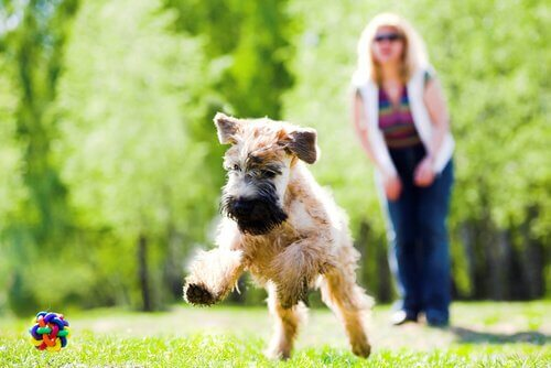 Irish Soft Coated Wheaten Terrier che gioca con padrona