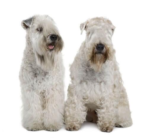 Conosciamo l'Irish Soft Coated Wheaten Terrier