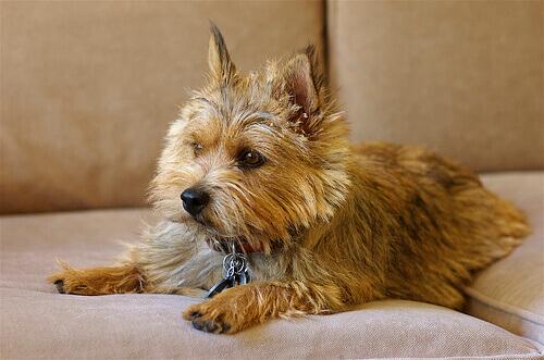 Norwich Terrier sdraiato sul divano