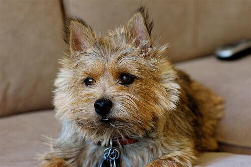 Norwich Terrier sul divano